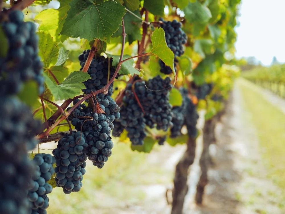 velký vinohrad